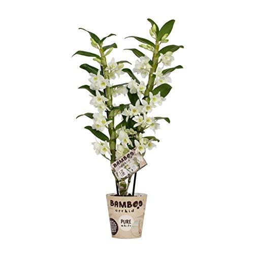 Orchidée de BAMBOO ORCHID – Bambou Orchidée – Hauteur: 50 cm, 2 pousses, fleurs blanches – Dendrobium nobile Apollon
