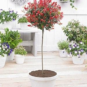 Photinia x fraseri Red Robin Photinia arbuste résistant Hauteur 90-100 cm Pot Ø 19 cm