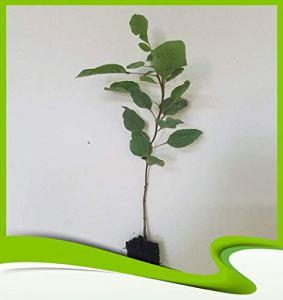 Pistacia vera (Pistache) – Plante