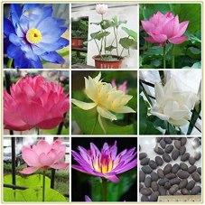 Plante vivante de fleur de nénuphar, graine de lotus de bonsaï de couleur mélangée, graine d'eau aquatique de 20x graines-Couleur mixte