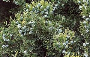 Platycladus orientalis graines de semis de jardin verdissement des graines de plantes forestières arbre 300 graines