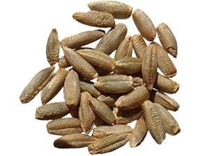 Seigle Admiraal NT – 250 grammes – Secale Cereale – Rye – (Engrais Vert – Green Manure) – SEM27