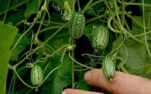zumari 25 graines de concombre mexicain aigre-doux