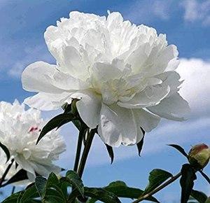 2 pièces Bulbes de pivoine blanche Arbuste parfumé fleurs pivoines Rhizome pour la maison jardin vivaces décor Bouquet vacances cadeau