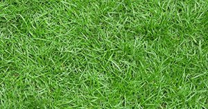 Aamish 50pcs graines d'herbe Zoysia