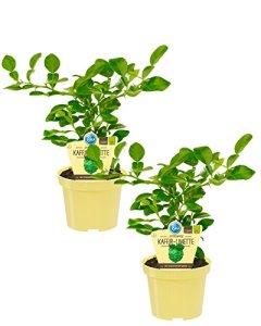Citron de café bio (citron hystrix), plantes d'herbes issues de l'agriculture durable (2 plantes, chacune dans un pot de 12 cm).