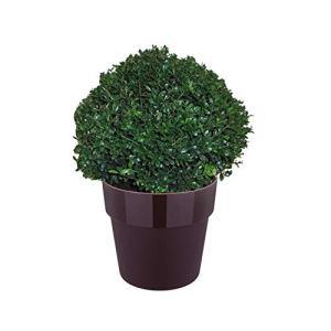 Haies et arbustes de Botanicly – Ilex Crenata Stokes en pot violet comme un ensemble – Hauteur: 35 cm