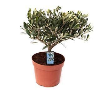 Plante d'intérieur de Botanicly – Olivier – Hauteur: 40 cm – Olea europeae