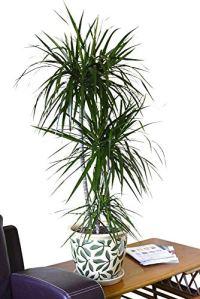 Plante d'intérieur – Plante pour la maison ou le bureau – Dracaena marginata – Dragonnier de Madagascar, hauteur 80cm