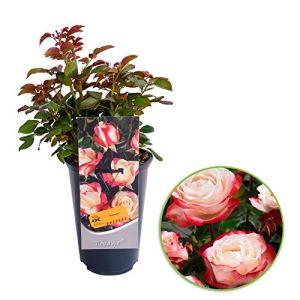 Rosa «Nostalgie» | Rosier hybride de Thé | Fleurs blanche-rouge | Hauteur 40 cm | Pot Ø 17cm