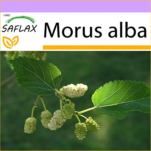 SAFLAX – Mûrier blanc – 200 graines – Morus alba