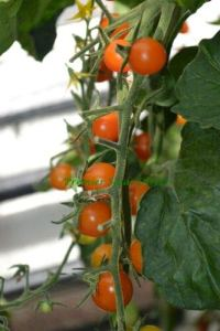 TOMATO CHERRY SUNGOLD 100 FINEST SEEDS