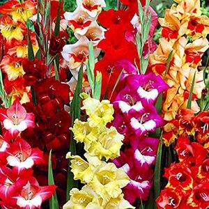 50x Bulbes Glaïeul Mix couleurs Bulbes fleurs vivaces Gladiolus Mélange Bulbes fleurs Glaïeul Plante fleurie extérieur