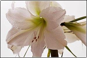 Ampoule Amaryllis,Ampoule Amaryllis,Il Est Aussi Magnifique Que Le Jade,Fleurs En Pot Sucrées Dans Différentes Poses-4 Bulbes,A