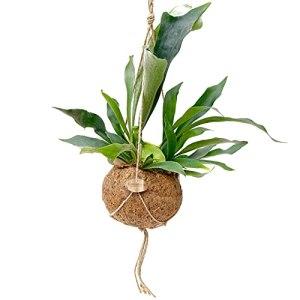 Fougère de Botanicly – Platycerium – Hauteur: 40 cm