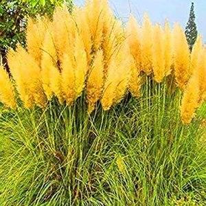 Genipap 80pcs feuilles de curry graines de plantes