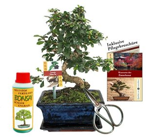 Gift set bonsai»Carmona» – Fukientee – approx. 8 years old – beginner set