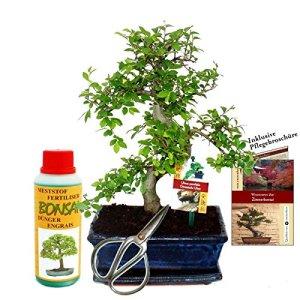 Gift set Bonsai»Ulmus» – Chinese elm – approx. 8 years old – beginner set