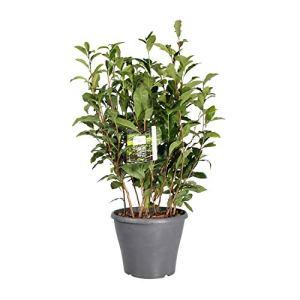 Herbe de Botanicly – Camellia Sinensis – Hauteur: 50 cm