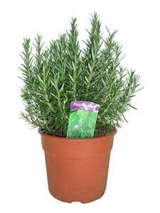 Herbes de Botanicly – 2 × Romarin – Hauteur: 50 cm – Rosmarinus Officinalis