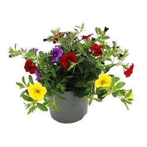 Lot de 3 plants de petunia suspendus – Calibrachoa – Pot de 12 cm – Multicolore