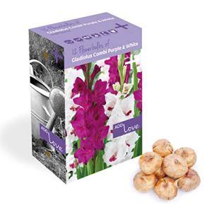 Plant & Bloom bulbes de glaïeuls des Pays-Bas, 12 bulbes – Facile à cultiver – Pour les semis de printemps dans votre jardin – qualité néerlandaise – Fleurs violettes et blanches