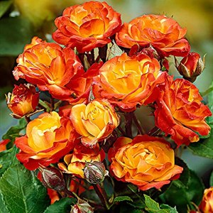Rosa floribunda «Cuba Dance» | Rosier en pot | Fleurs rouge et jaune | Hauteur 40 cm | Pot Ø 17cm