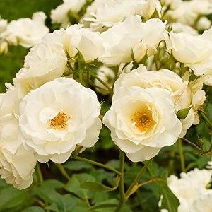 Rosa floribunda «Kristall» | Rosier en pot | Fleurs blanches | Hauteur 40 cm | Pot Ø 17cm