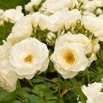 Rosa floribunda «Kristall»   Rosier en pot   Fleurs blanches   Hauteur 40 cm   Pot Ø 17cm
