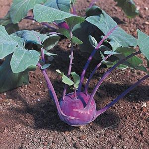 Suffolk Herbes – Kohl Rabi Azur – 150 étoiles bio Graines