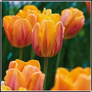 Tulipes Bulbes,Parfumées Lorsqu'elles Sont Cultivées,Comme Un Jade Et Comme Une Fleur,Une Impressionnante Collection De Rhizomes à Valeur Ornementale-20 Bulbes,A-Tulipes Bulbes