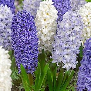 15x Hyacinthus orientalis – Mix Blue Sky | Bulbe de Jacinthes dOrient | Fleurs bleu-blanc | Ø 14-15cm