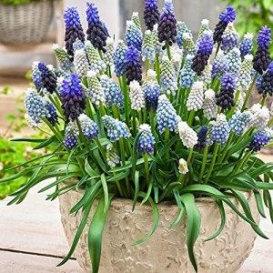 40x Muscari armeniacum | Bulbes de Muscaris | Fleurs bleues | Plantes fleuries vivaces | Ø 6-7cm
