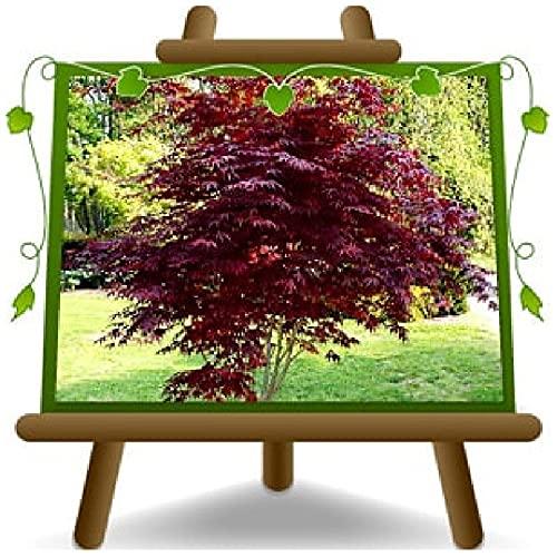 Acer Palmatum Momiji « Bloodgood » Pot de fleurs d'érable 19 hauteur 40/60 cm