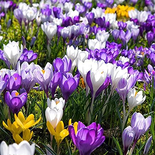 FStening 4 Pièces Trois Couleurs Mélangées Charmantes Bulbes De Safran De Nombreuses Variétés Crocus Plantation Facile Meilleur Matériau De Fleur Décorative Pour Jardin Bricolage
