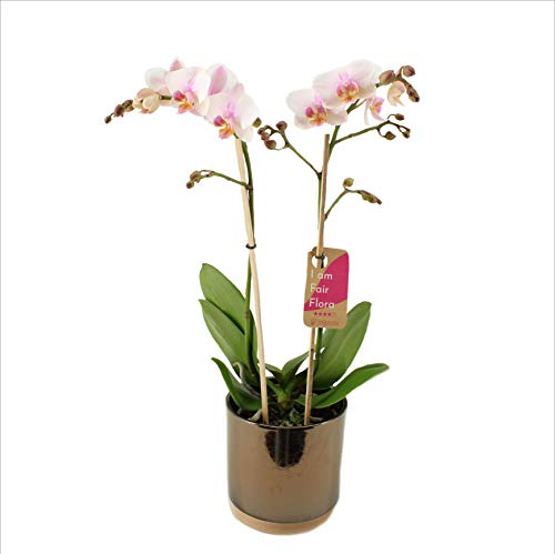 Orchidée de FAIR FLORA – Orchidée papillon en pot céramique d'or 'Julia' comme un ensemble – Hauteur: 50 cm, 2 pousses, fleurs blanches – Phalaenopsis Amaglad Soft