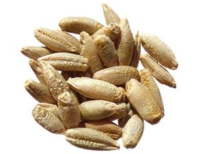 Seigle Protector Bio – 500 grammes – Secale Cereale L. – Rye – ( Engrais Vert – Green Manure ) – SEM02