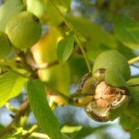 Nucul, copac protejat de lege: Amendă pentru fiecare pom doborat fără autorizație