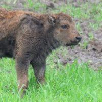 Imagini rare din rezervația de zimbri din Hațeg. Romică, cel mai tânăr dintre cele nouă exemplare de acolo, a împlinit un an