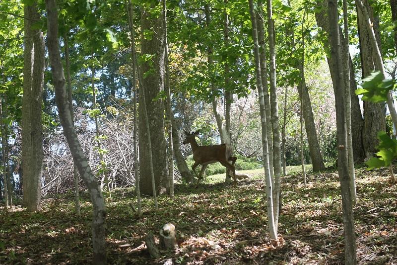 deer, Avard Woolaver, backyard, Nova Scotia,