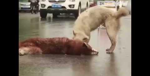 Συγκλονιστικό βίντεο: Σκύλος προσπαθεί να «ξυπνήσει» τον νεκρό του φίλο στην άσφαλτο