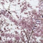 Cherry Blossoms et comme une immense envie de voir lehellip