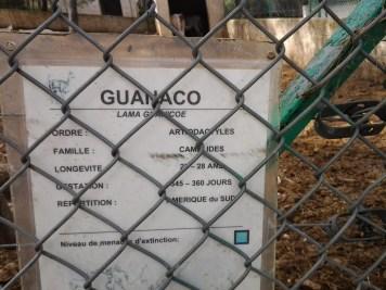 17. Guanaco