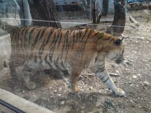 50. Tigre panthère