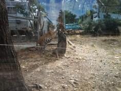 52. Tigre panthère