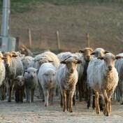 Troupeau en Roumanie