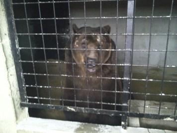 Ce que les Poliakov présentent au public comme un paradis pour les ours ressemble plus à l'enfer !