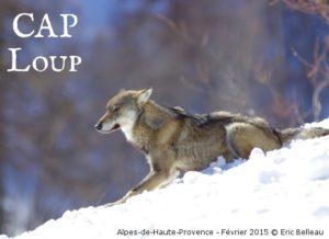 loup_eric-belleau_alpes-de-haute-provence_fevrier-2015