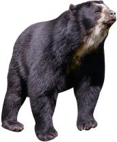 Silhouette ours à lunettes