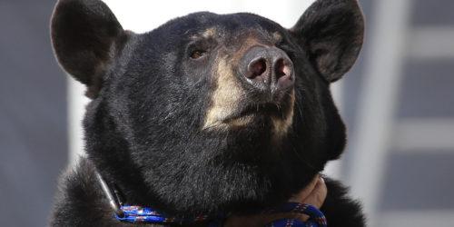 L'ours Valentin sera aux médiévales de Tonnerre les 8 et 9 septembre 2018